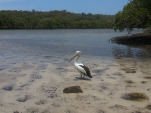 Peaceful Pelican in Nature